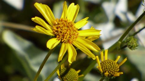 shrub with yellow like flowers valley sees superbloom of wildflowers cnn