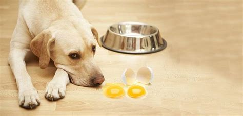 eggs bad for dogs can dogs eat eggs without getting sick daily stuff