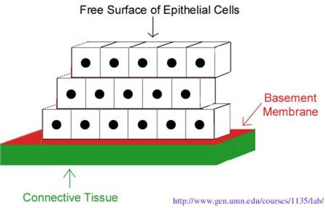 basement membrane epithelium how epithelial tissues are classified