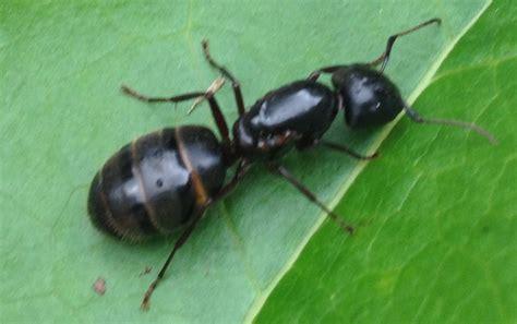 fourmis dans la maison exterminateur fourmis charpenti 232 res 224 montr 233 al prot 233 gez