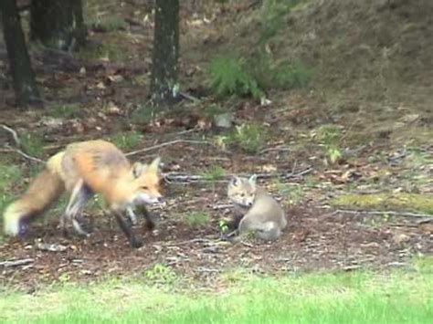 fox in backyard red fox and foxes cavort in back yard ma youtube