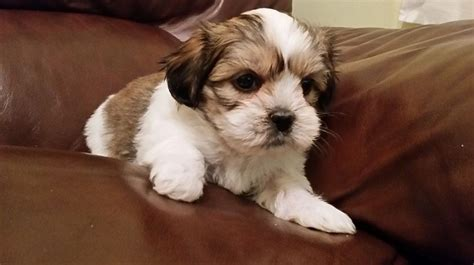 malshi puppies mal shi maltese x shih tzu mix temperament puppies pictures