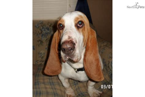basset hound puppies near me basset hound puppy for sale near springfield missouri 58d28c40 9ae1