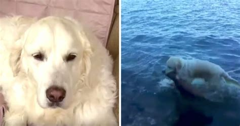 everything about golden retrievers golden retriever named rescues drowning baby deer