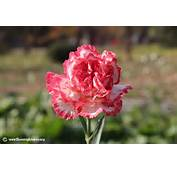 Carnation Flower Picture 16