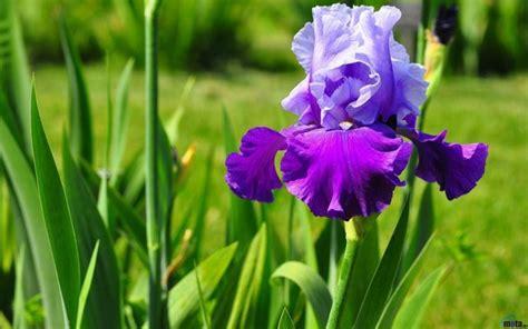 fiori iris iris bulbi come coltivare l iris