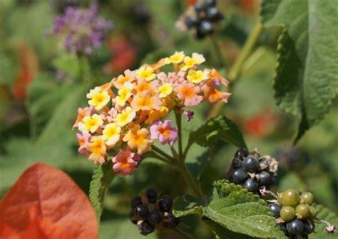 is lantana poisonous to dogs growing lantana thriftyfun