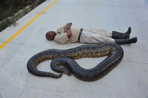 trini mummy  foot snake   caroni trinidad
