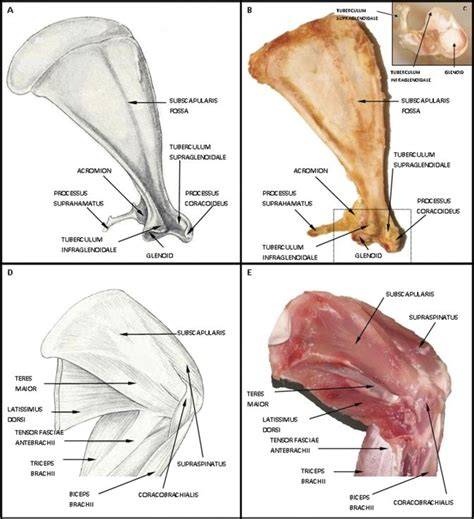 animal anatomy scapula 17 best ideas about subscapularis muscle on pinterest
