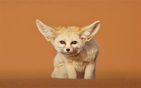 Baby Fennec Fox Wallpaper - fennec fox wallpapers backgrounds