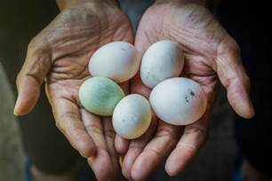 what determines the color of an egg how genetics determine duck egg color countryside network