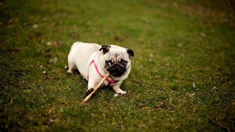 pug puppies rate wallpaper 1920x1080 pug grass collar walk sit hd 1080p hd