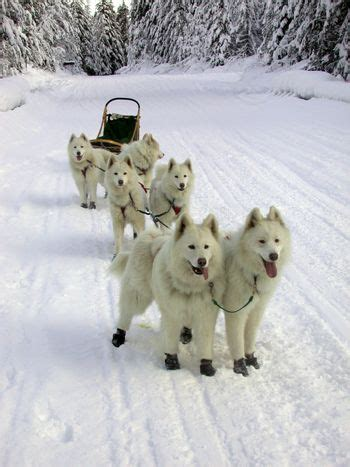 sled breeds sled dogs breeds sled dogs