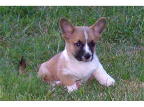 cardigan corgi puppies for sale in pa cardigan corgi for sale oregon sweater jacket