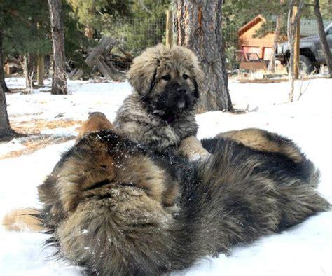 mastiff puppies colorado tibetan mastiff information tibetan mastiffs tibetan mastiff breeders tibetan