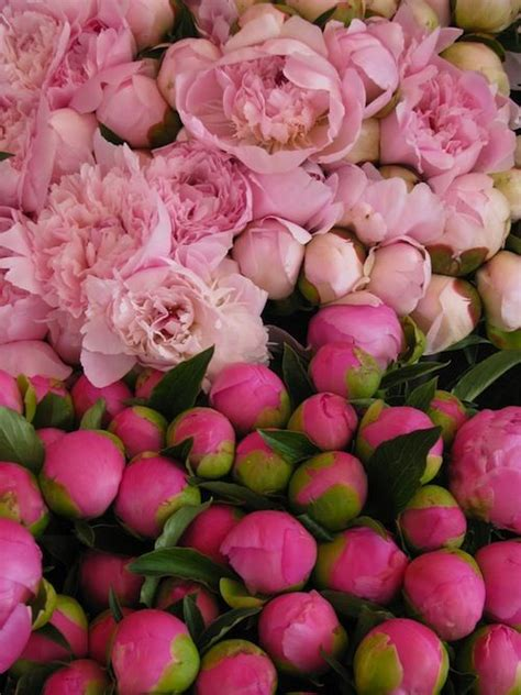 pink peonies and other flowers from long ago new england if i had my way peonies would be in season all year long