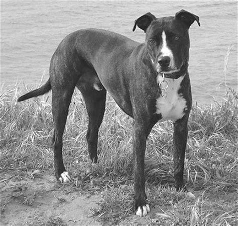 pitbull golden retriever mix temperament border collie pitbull mix temperament