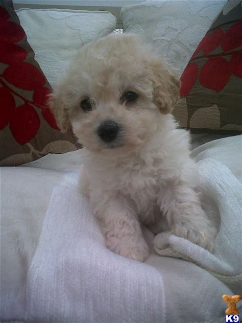rosedale doodles puppies for sale poochon puppies for sale poodle x bichon fri 32369
