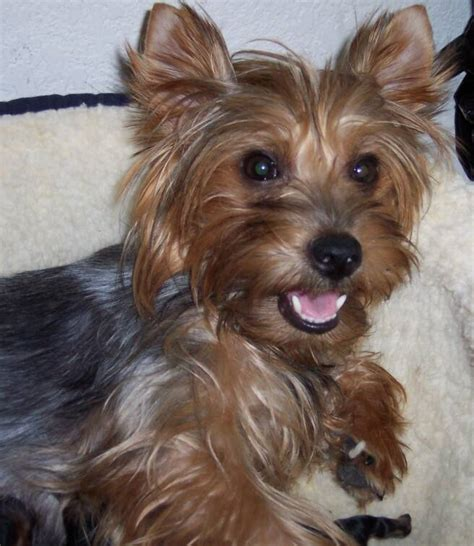 are yorkies born with tails blue born hairless yorkie related keywords blue born hairless yorkie