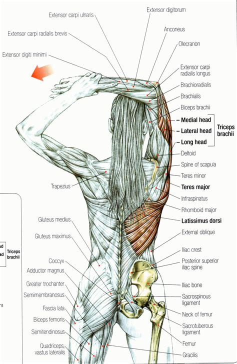 triceps diagram tricep muscles anatomy human anatomy system