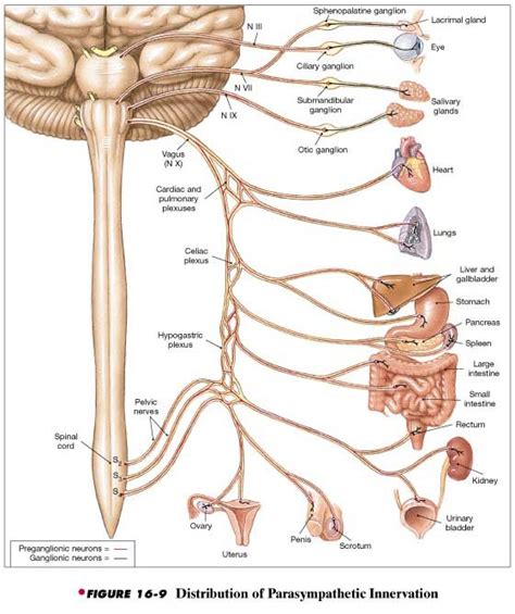 diagram of the vagus nerve 14 spinal nerves