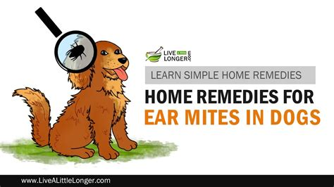 Home Remedies For Ear Mites In Dogs by Best Home Remedies To Get Rid Of Ear Mites In Dogs