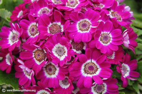 flower pictures cineraria cruenta picture 8
