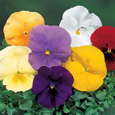 delta colors mix pansy seeds from park seed