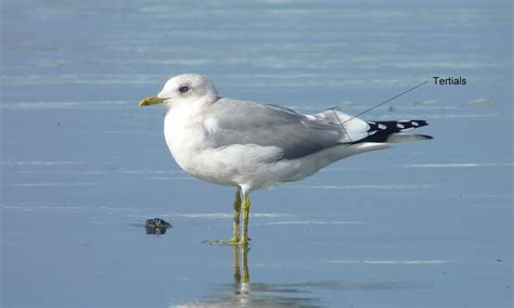 Tertial L by Anything Larus Of The Tertial
