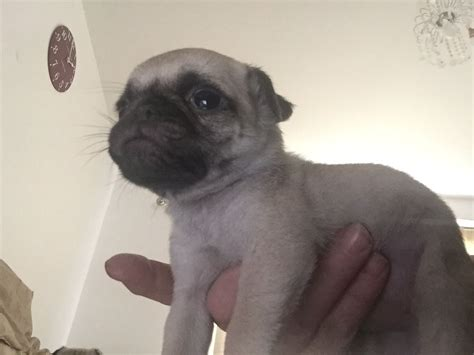 pugs for sale in maidstone 1 pug pup for sale ready for home 9 4 16 maidstone kent pets4homes