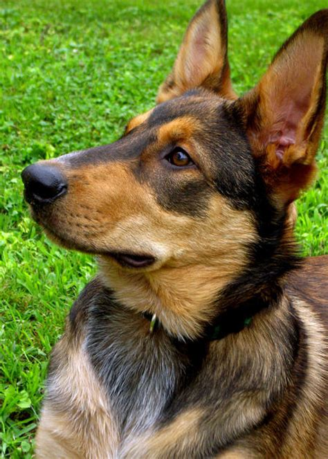 german shepherd australian cattle mix australian cattle german shepherd mix