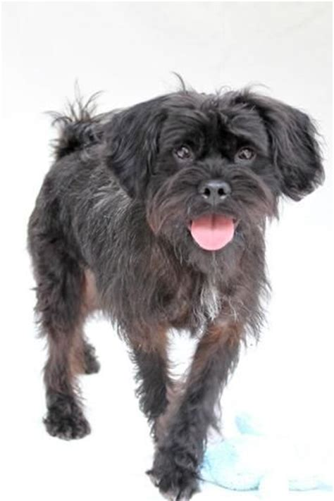 pug poodle mix for sale 17 best images about bronx mix on chugs adoption and poodles