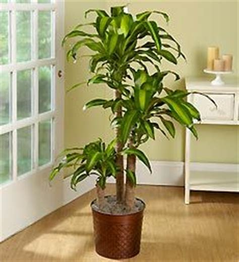 north window plants best 20 corn plant ideas on pinterest gardening direct