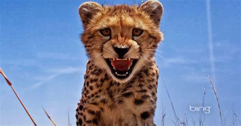 imagenes para fondo de pantalla leopardos fondo de pantalla animales leopardo bing imagenes zt