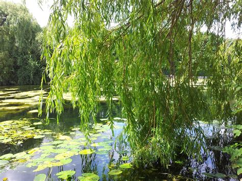 free photo willow trees greenery woods free image on
