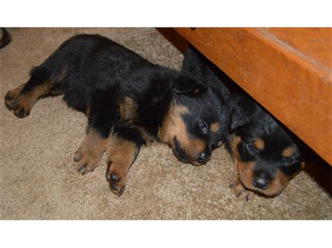 akc rottweiler breeders akc rottweiler puppies pets cottonwood ca recycler