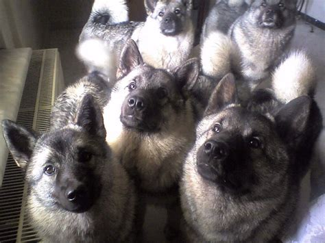 elkhound puppies elkhound puppies photo and wallpaper beautiful elkhound puppies