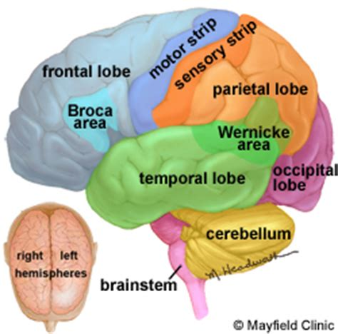 sections of the brain and what they control brain anatomy anatomy of the human brain
