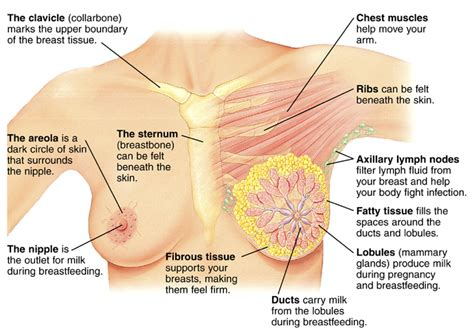 self breast diagram breast anatomy articles mount nittany health system