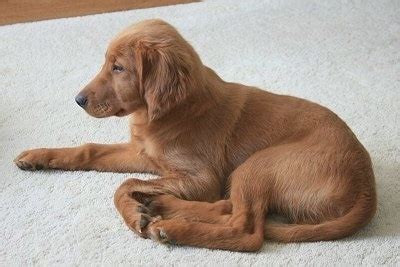 golden retriever mix breeds for sale golden breed information and picturess golden retriever setter mix