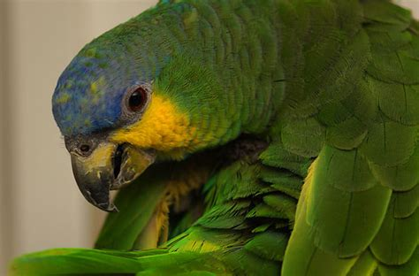 orange winged amazon facts care  pets prices  pictures singing wings aviary
