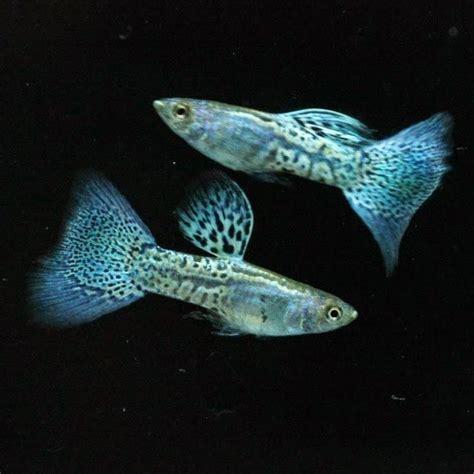 Pakan Ikan Gapi Hias terbaik hewan indonesia dan jual beli