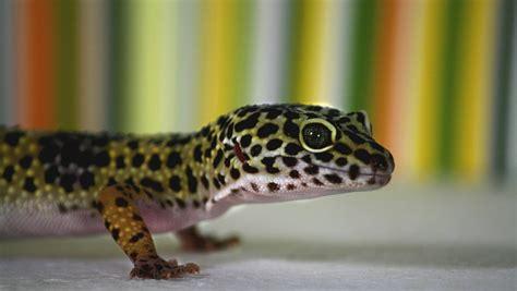 geco in casa porta fortuna geco cosa mangia quanto vive e perch 232 porta fortuna in casa