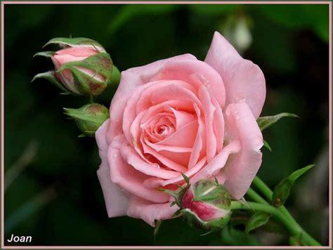 imagenes de rosas rosas hermosas im 225 genes de rosas rosas hermosas por definici 243 n