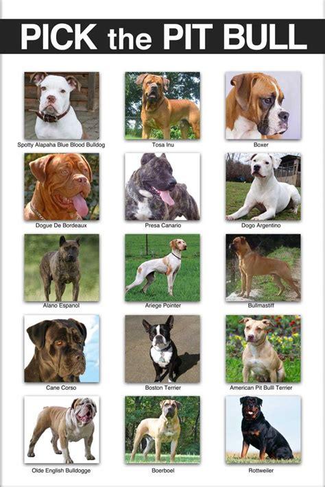 pitbull types the pit bull dogs on poster revealed fox31 denver