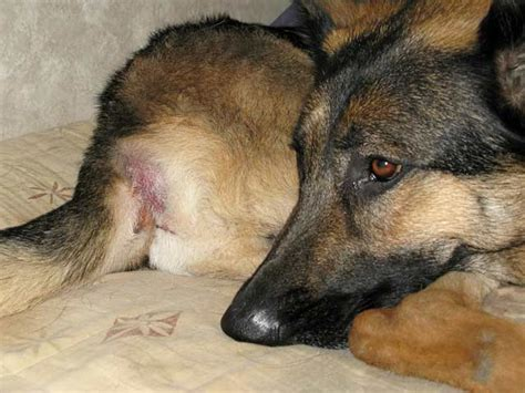 adenocarcinoma in dogs tripawds 187 tripawds learns about perianal sac tumors in dogs