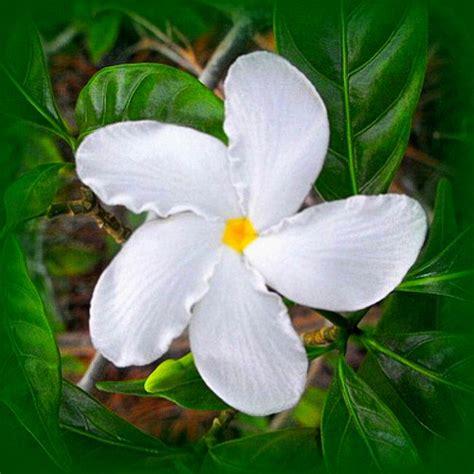 Jual Berbagai Jenis Teh Bunga Melati Flower Tea 301 moved permanently