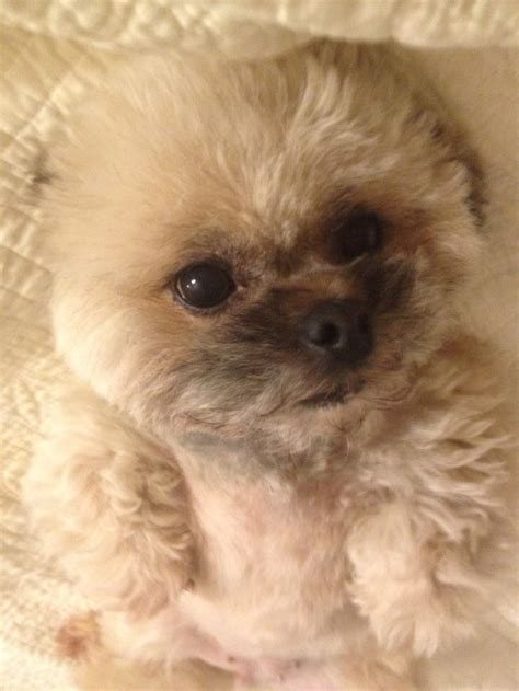 pekingese poodle lifespan 1000 images about peke a poo i see you on