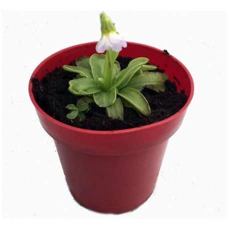 Pinguicula Primuliflora 3 butterworts