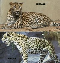 What Is The Difference Between A Jaguar And A Panther Difference Between Jaguar And Leopard Difference Between